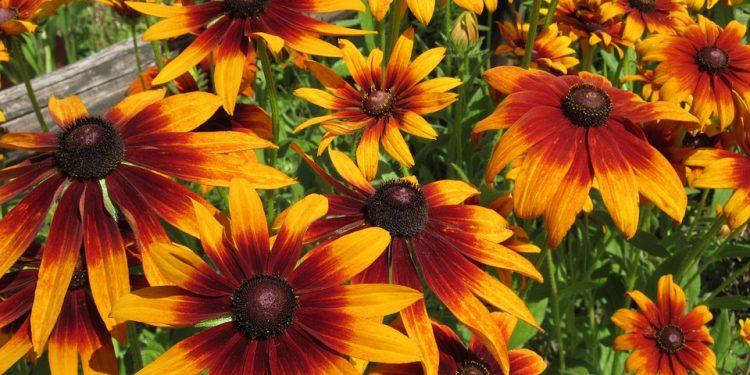 Rudbeckia - Perennial Plant, How to grow