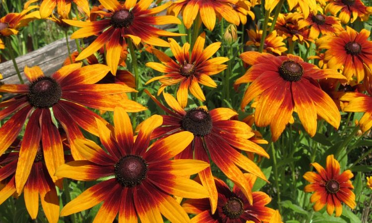 Rudbeckia - Perennial Plant, How to grow
