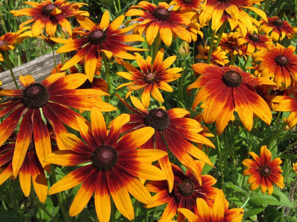 Rudbeckia perennial plant how to grow mightylinksfo