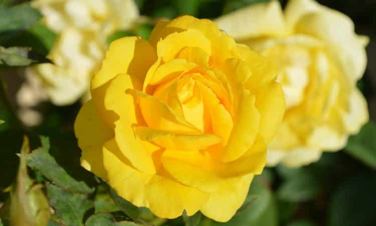 YELLOW ROSE  - Gardening