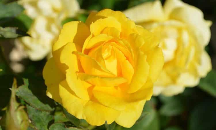 YELLOW ROSE  - Gardening