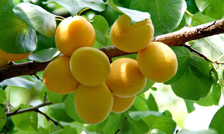 Apricot trees - Planting and Growing