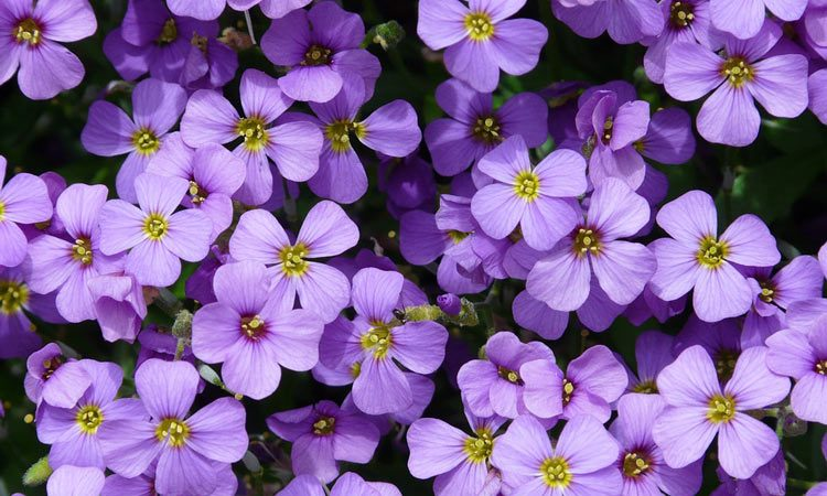 AUBRIETA THE PURPLE ROCK CRESS