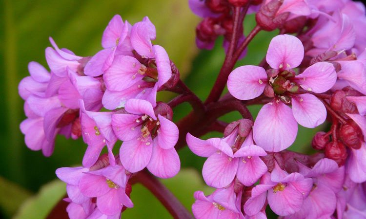 Bergenia - Perennial Plant, How to grow