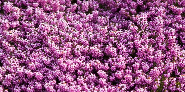 Calluna, Erica Heather shrubs