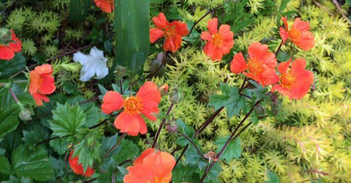 Geum - Perennial Plant, How to grow