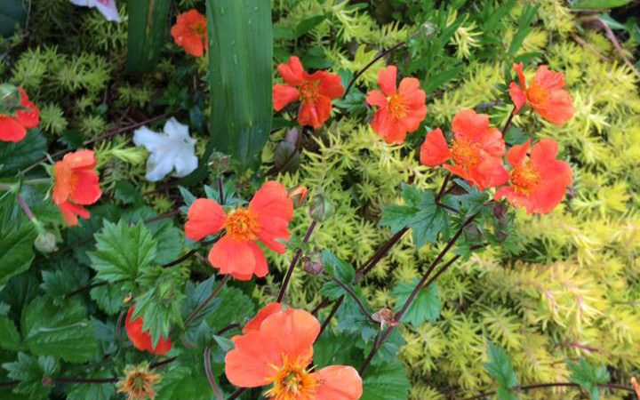 Geum - Perennial Plant, How to grow