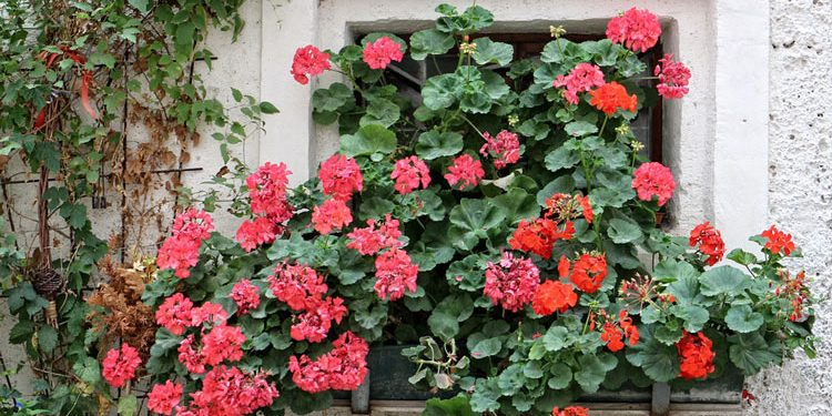 Grow and care for Geraniums (Pelargoniums)