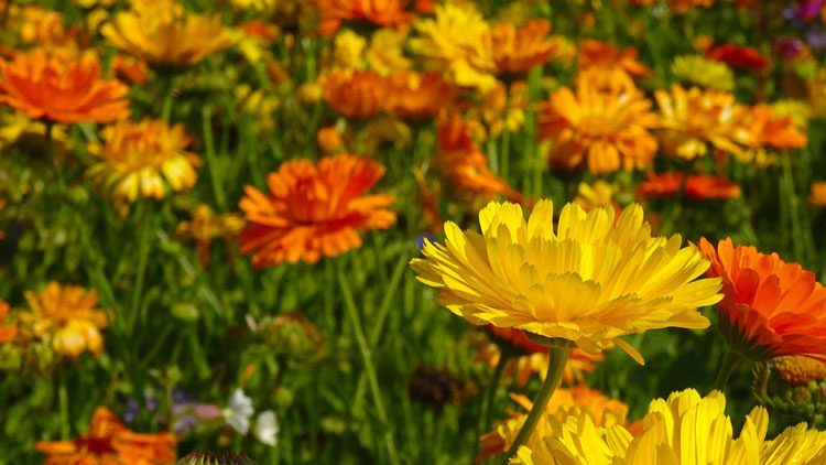 Growing and planting Marigolds: African and French Marigolds