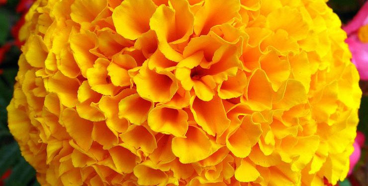 Growing and planting Tagets: African and French Marigolds