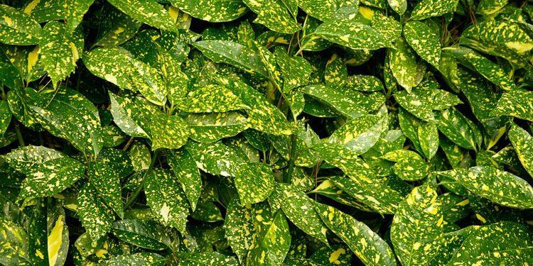 Growing Aucuba - Plant information