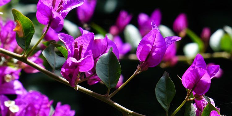 Growing Bougainvillea vine