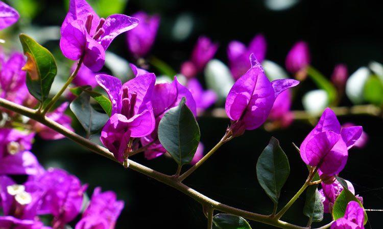 Growing Bougainvillea vine
