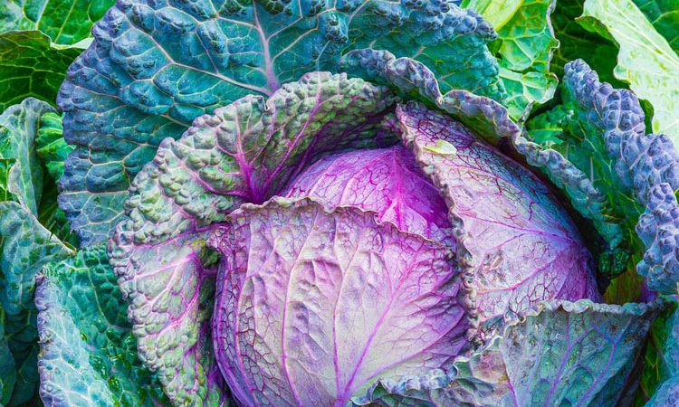 Growing cabbage and broccoli