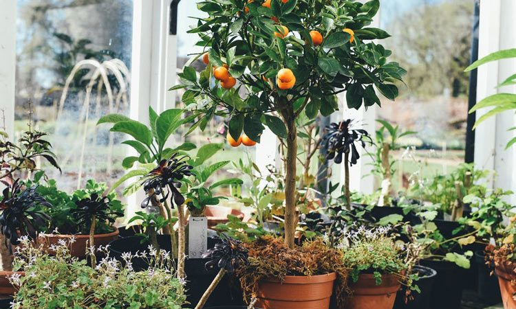 Growing Fruit trees in a greenhouse in pots
