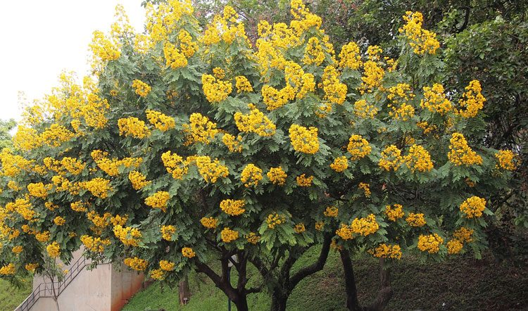Growing guide for Cassia Shrub