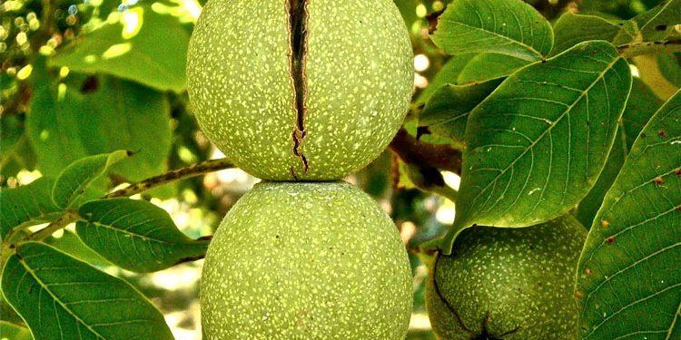 Growing Hazel and Walnut Trees