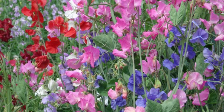 Growing Sweet Peas