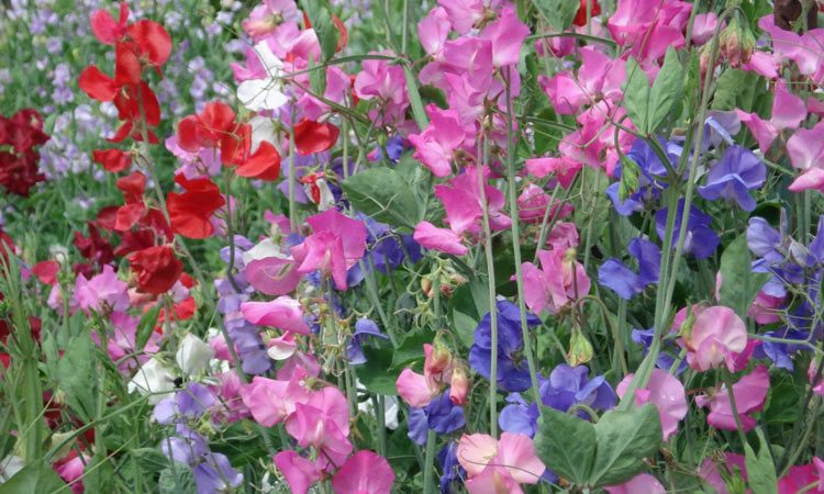 Image result for images sweet peas