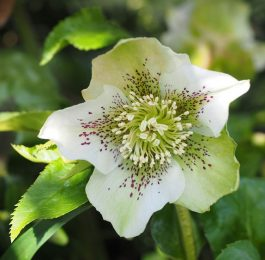 Helleborus - Perennial Plant, How to grow