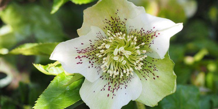 Helleborus - Perennial Plant, How to grow