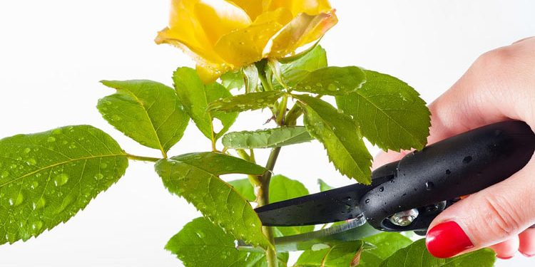 How to prune roses this Spring