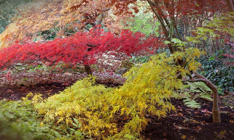 Japanese Maples Resource Site