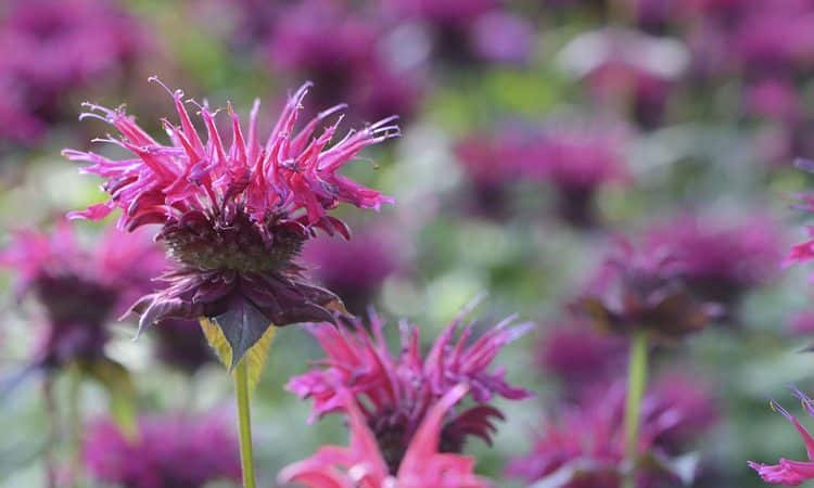 Monarda - Perennial Plant, How to grow