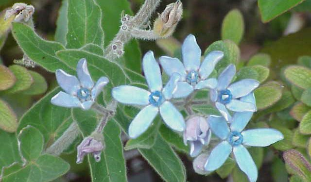 Oxypetalum caeruleum - A Good Blue Tender Perennial