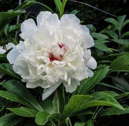 Paeonia - Perennial Plant, How to grow