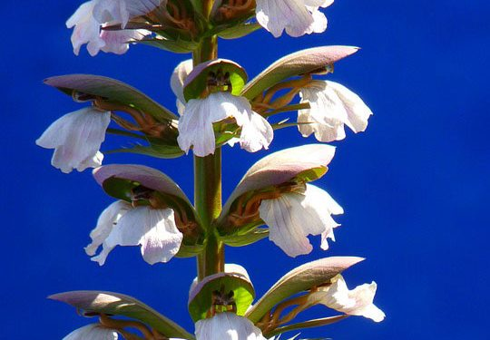 Plant information - Acanthus,  Bear's breech