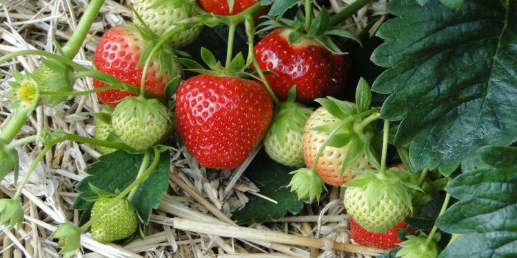 Plant Strawberries this Fall