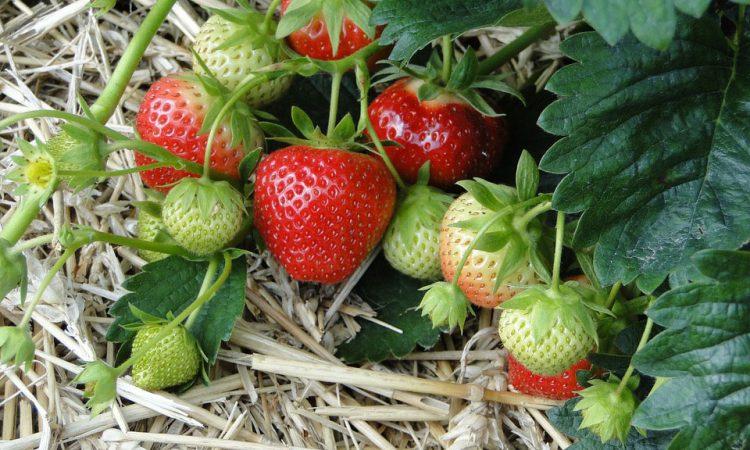 Plant Strawberries this Fall