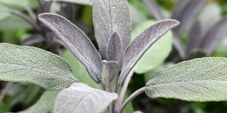 Salvia - Perennial Plant, How to grow