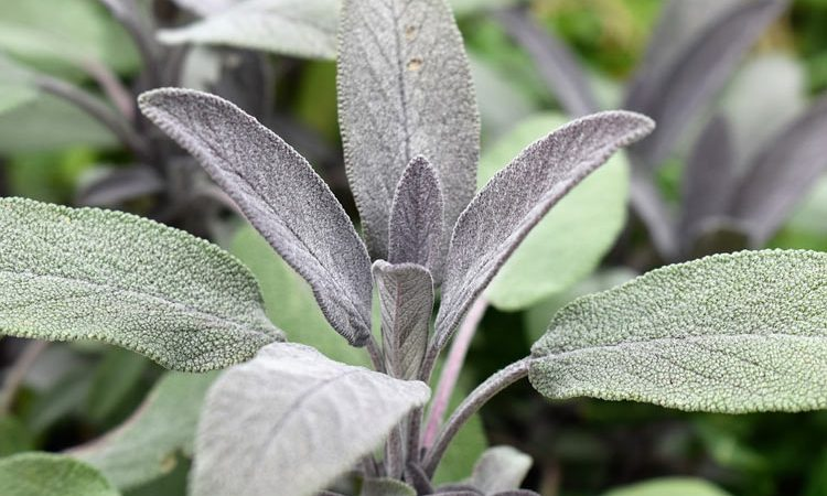 Salvia - Perennial Plant, How to grow