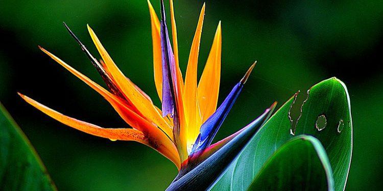 STRELITZIA Bird of Paradise Flower (Strelit'zia)