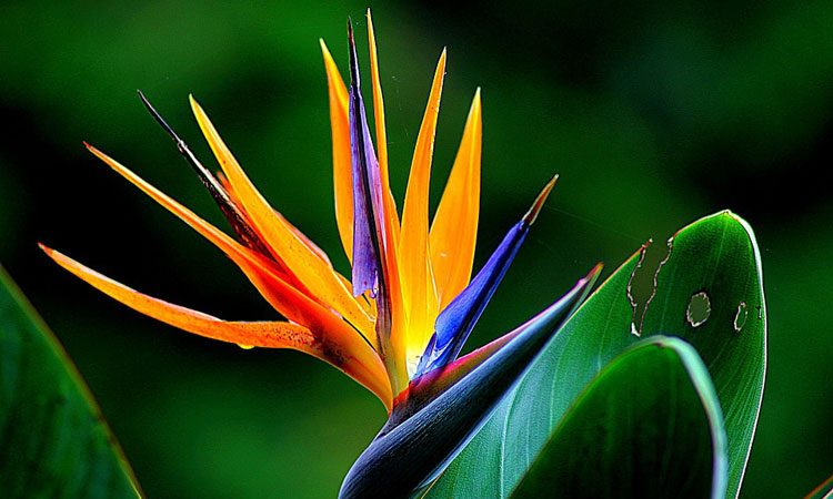 strelitzia bird of paradise flower strelit zia backyard gardener