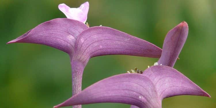 Tradescantia - Perennial Plant, How to grow