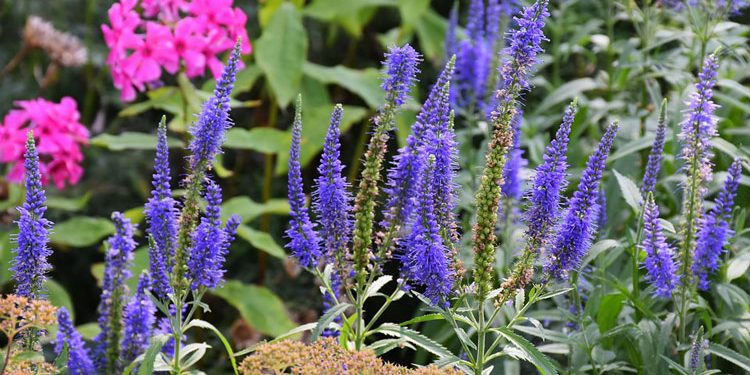 Veronica - Perennial Plant, How to grow