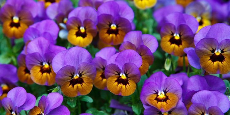 Viola – Perennial Plant, How to grow