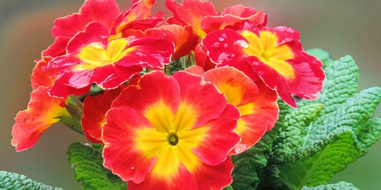 You too can Grow Primroses