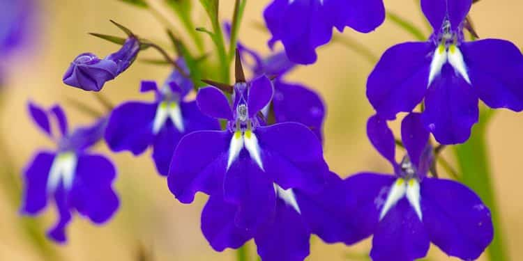 A good Blue Salvia
