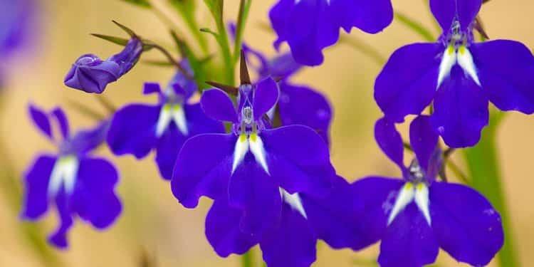 A good Blue Salvia