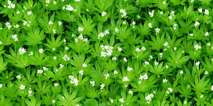 ASPERULA — Woodruff Plant and Growing Information