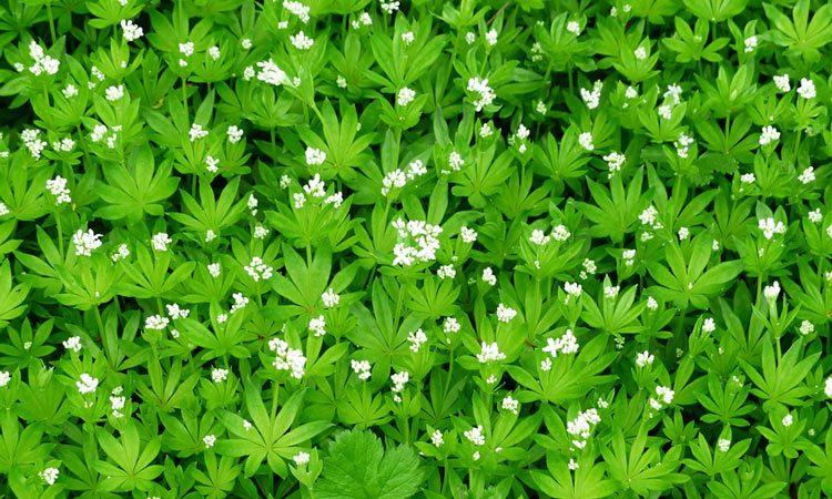 ASPERULA — Woodruff Plant and Growing Information