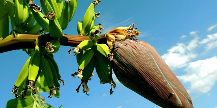 banana Growing and Planting Guide