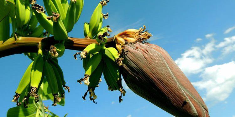 banana Growing and Planting Guide