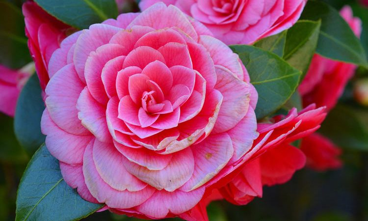 Camellia shrubs Growing and care