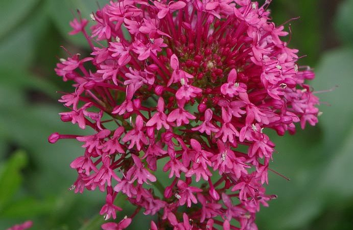 Centranthus - Perennial Plant, How to grow