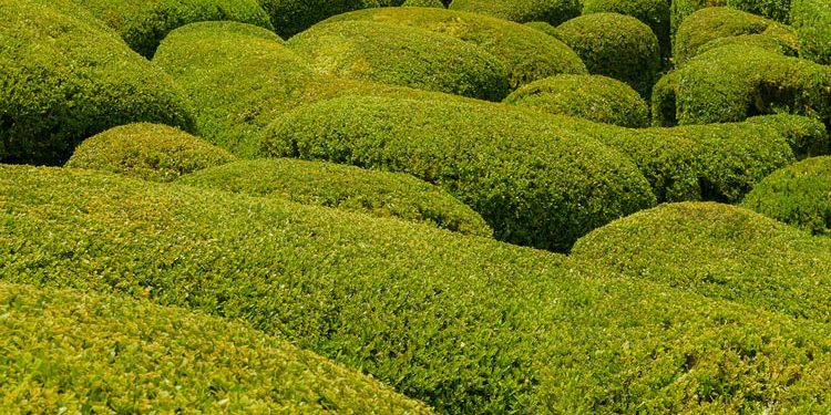Common Boxwood Shrub Planting and Care
